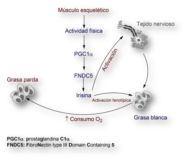 Irisina-hormona-alzheimer